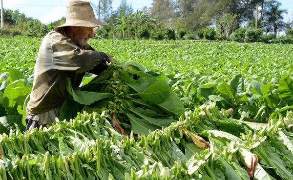 Estiman que este año llegará al 25% el Fondo Especial del Tabaco para Misiones